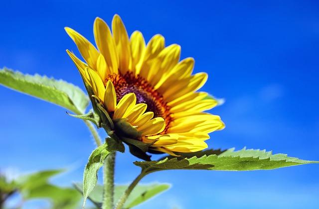 Sun Flower 1536088 640