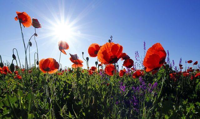 Poppies 1031588 640