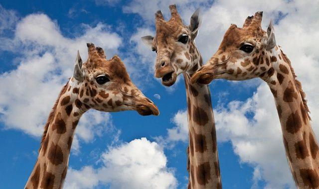 Giraffes 627031 640