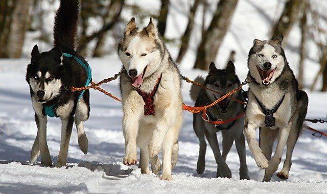 Huskies 273409 640
